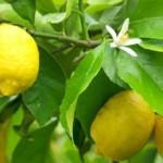 Χυμός  Λεμονιού: Οι πιο σοβαρές ασθένειες βρίσκουν λύση στη φύση!