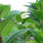 11 βότανα κατά της δυσπεψίας