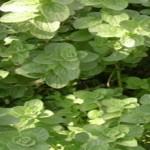 Το φυτό 'δίκταμο':μία σύντομη προσέγγιση σ'έναν μυθιστορικό γρίφο