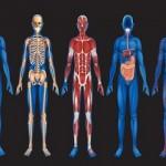 Ανθρώπινο Σώμα Μια Εκπληκτική Μηχανή Προσαρμογής